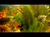 рыбки целуются